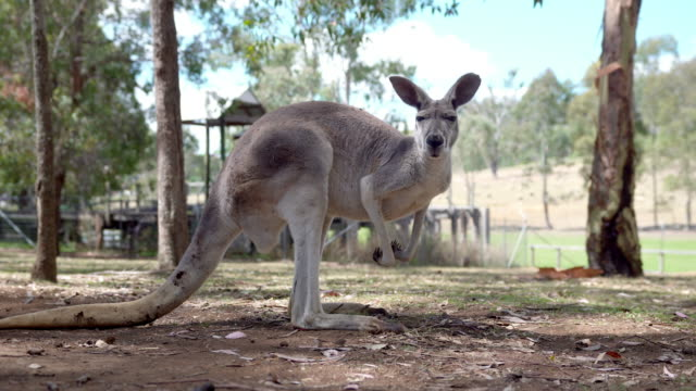 kangaroo jumping around on an australian farm - tourism stock videos & royalty-free footage