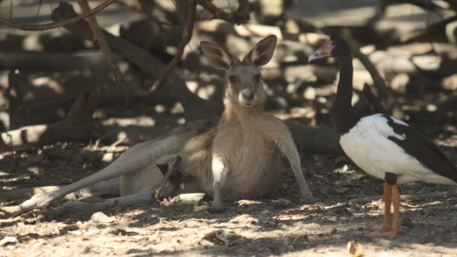 kangaroo lies in shade with magpie goose - goose stock videos & royalty-free footage