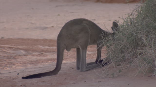 A kangaroo nibbles on a shrub in the desert.