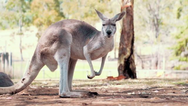 Kangaroo on a farm