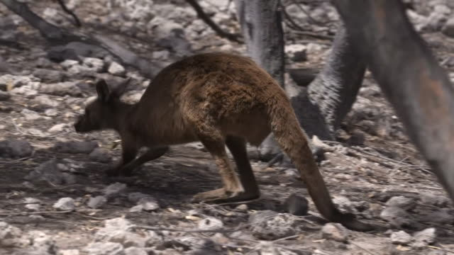kangaroo on kangaroo island after intense bush fires - waldbrand stock-videos und b-roll-filmmaterial