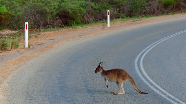 kangaroo on road / australia - カンガルー点の映像素材/bロール