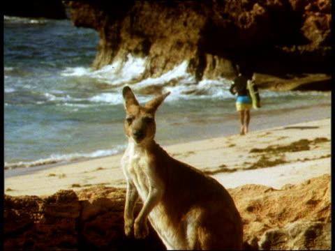 vidéos et rushes de kangaroo on rocks in foreground, surfer runs down beach in background, kangaroo jumps out of shot - australie