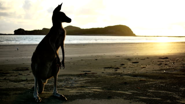 kangaroo on the beach at sunrise - queensland stock videos & royalty-free footage