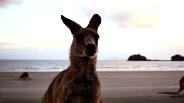 kangaroo on the beach at sunrise - australia stock videos & royalty-free footage