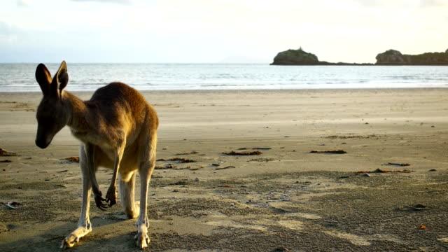 カンガルーのビーチ - カンガルー点の映像素材/bロール