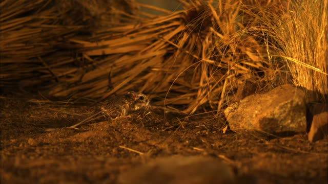a kangaroo rat runs past dry grasses and rocks. - rat stock videos & royalty-free footage