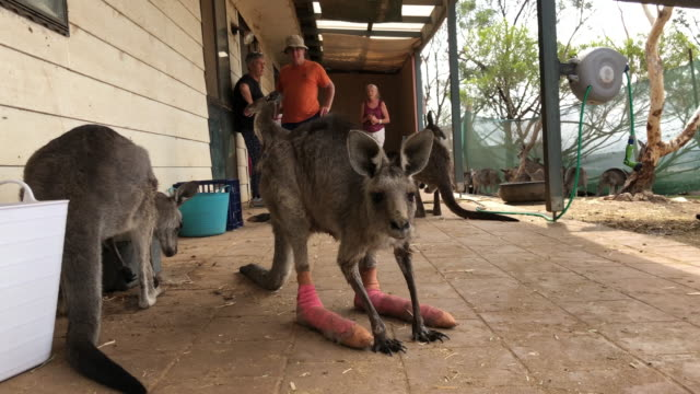 vidéos et rushes de kangaroo recovers from her burns at the possumwood wildlife recovery center on february 2, 2020 in bungendore, australia. the center rescues and... - kangourou