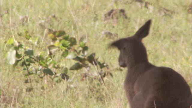 vídeos y material grabado en eventos de stock de kangaroo sits in shade seen through heat haze. - oreja animal