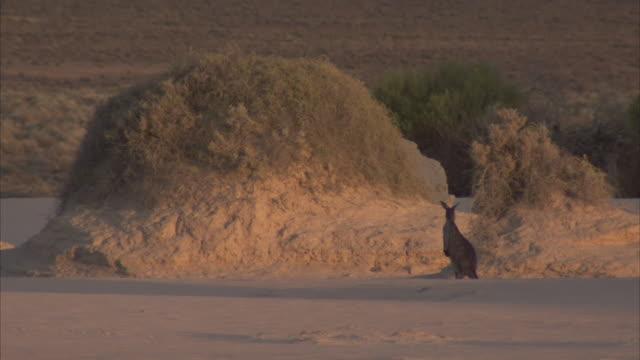 A kangaroo stands alert near a mound of dirt on the grassland.