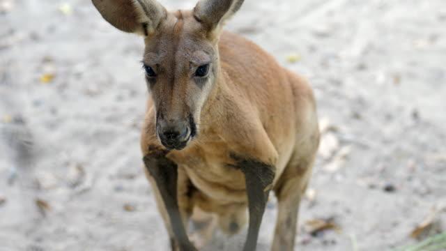 kangaroo - animal head stock videos & royalty-free footage