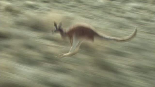 kangaroo - jumping stock videos & royalty-free footage