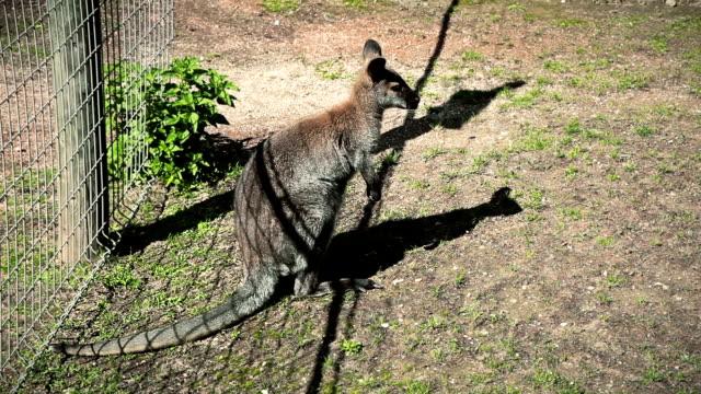 vídeos de stock e filmes b-roll de canguru - nariz de animal