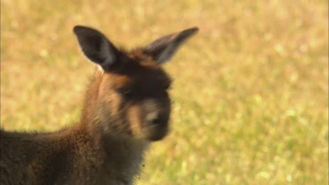 cu, tu, td, zi, kangaroo with baby in pouch, australia - カンガルーの子点の映像素材/bロール