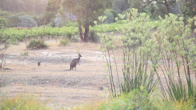 vídeos de stock, filmes e b-roll de kangaroo with joey - marsupial