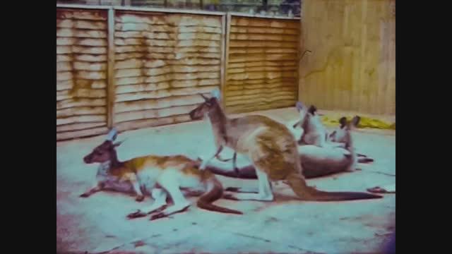 kangaroos at the zoo - three dimensional stock videos & royalty-free footage