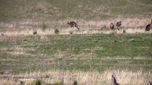 kangaroos, australia, jumping in the wild - canberra stock videos & royalty-free footage
