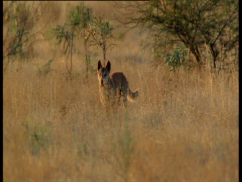 kangaroos bound past dingo which then chases them through long grass, australia - bbc stock videos and b-roll footage