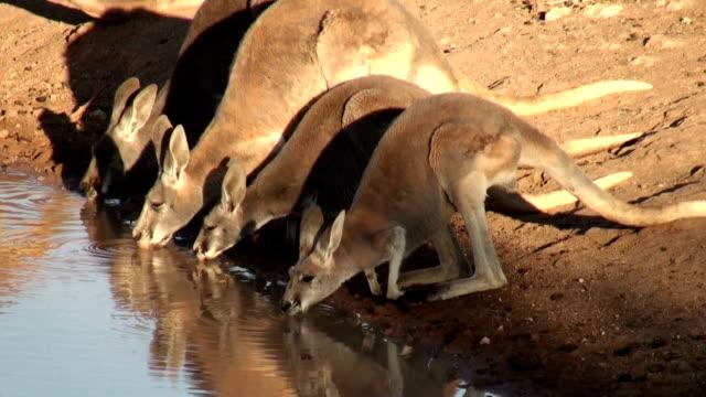kangaroos drinking - 2009 stock videos and b-roll footage