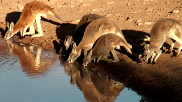 カンガルー飲む - 水場点の映像素材/bロール