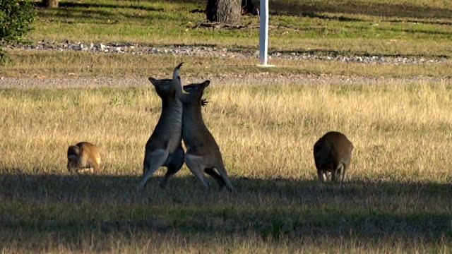 kangaroos fighting - fighting stock videos and b-roll footage
