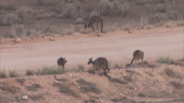 Kangaroos graze on scrub brush in the Australian desert.