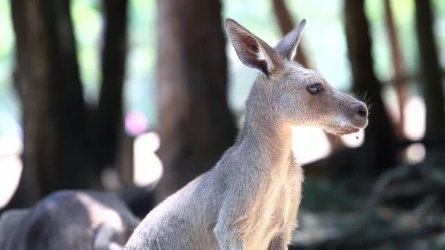 kangaroos in the nature - establishing shot stock videos & royalty-free footage