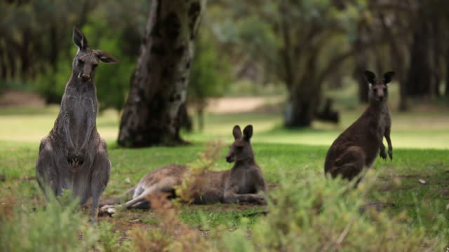 Kangaroos in the Wild A