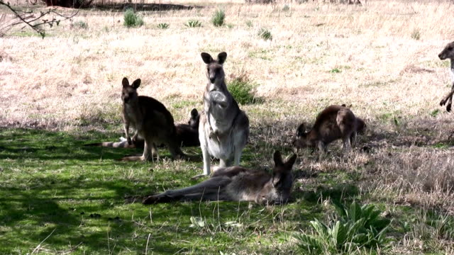 kangaroos in the wild - canberra stock videos & royalty-free footage