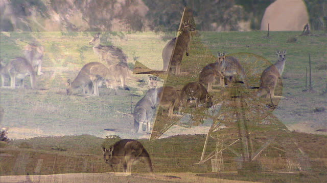 Kangaroos on grass with some of interview overlaid SOT Dish turning