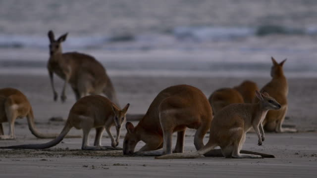 Kangaroos on the beach at sunrise