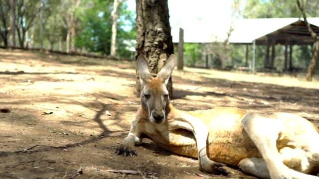 kängurur på gården - känguru bildbanksvideor och videomaterial från bakom kulisserna