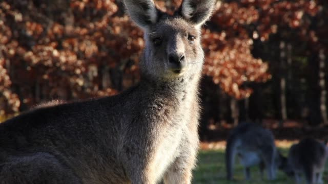 Kangaroos tend to be lefties according to a study that sheds new light on the capacity for mammals particularly those that walk upright to prefer one...