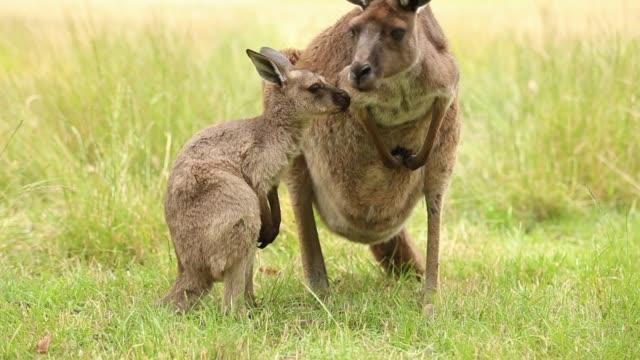 kangaroos - tierfamilie stock-videos und b-roll-filmmaterial
