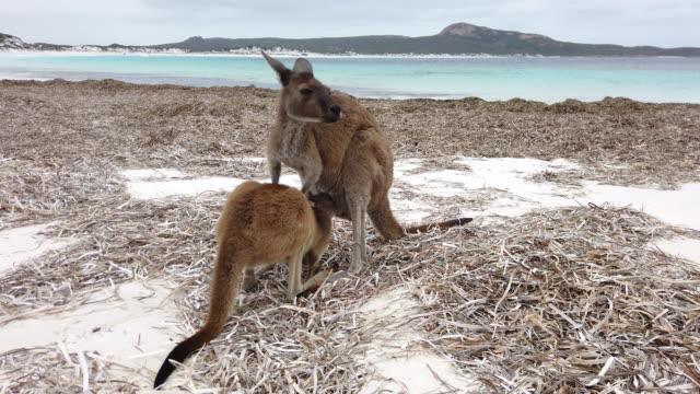 kängurur med en baby känguru suger mjölk från sin mor på lucky bay i cape le grand national park nära esperance, western australia - känguru bildbanksvideor och videomaterial från bakom kulisserna