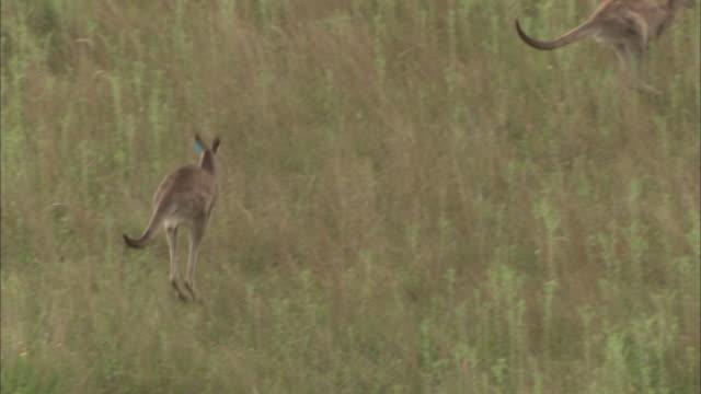 kangaroos with tags in ears leap away through long grass. - känguru bildbanksvideor och videomaterial från bakom kulisserna