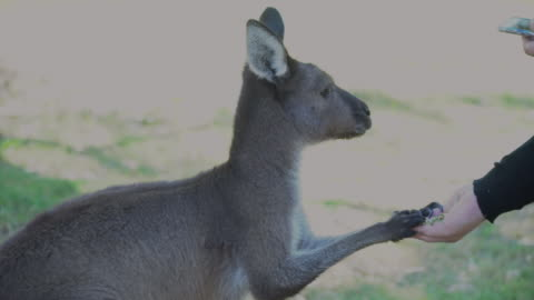 a kangoroo being fed - animal body part stock videos & royalty-free footage
