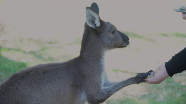 A Kangoroo Being Fed