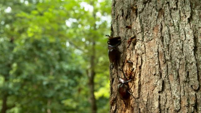 vídeos de stock, filmes e b-roll de kaniska canace, beetle and other insects on a tree at korea national arboretum (gwangneung forest) / pocheon-si, gyeonggi-do, south korea - posição de combate