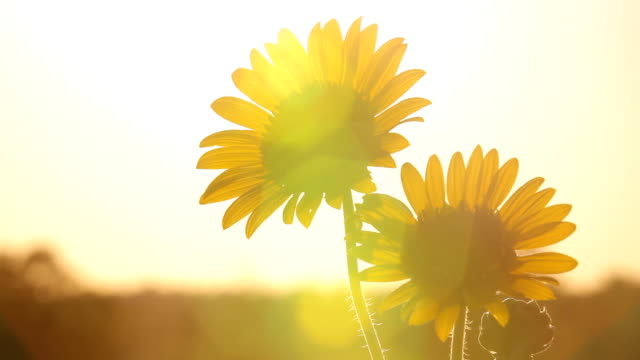 kansas sunflowers setting the mood hd - sunflower stock videos and b-roll footage