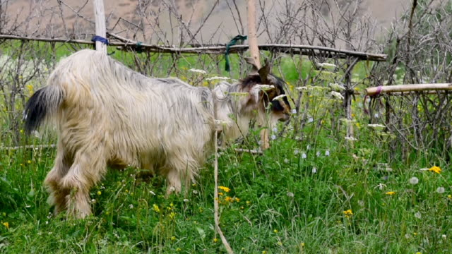 kashmir goat in  zanskar landscape,jammu kashmir ,north india - livestock stock videos and b-roll footage