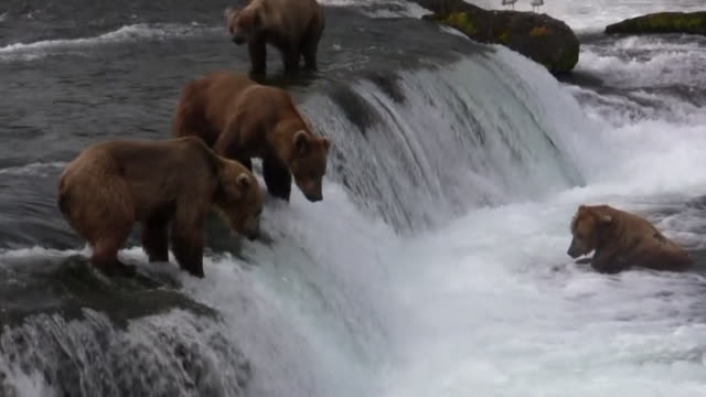 katmai bears fishing and fighting - large group of animals stock videos & royalty-free footage