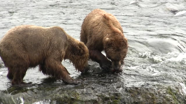 vidéos et rushes de katmai fishing bears fish catch and vicious fight - ours brun