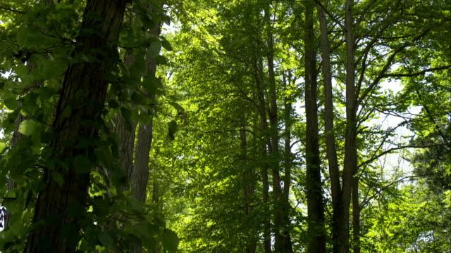 katsura tree-lined  gravel road