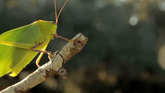 katydid bug - ecuador stock videos & royalty-free footage