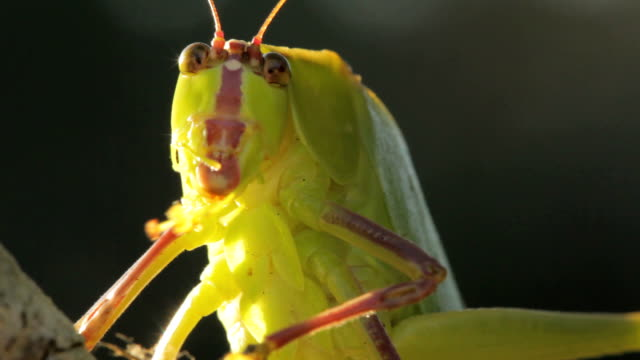 katydid bug - cricket insect stock videos and b-roll footage