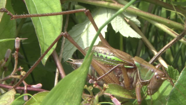 katydid - singing stock videos & royalty-free footage