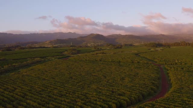 kauai agriculture - tropical tree stock videos & royalty-free footage