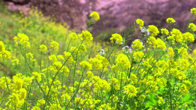 kawazu cherry blossom trees with canola flowers on river bank at shimogamo - natural condition stock videos & royalty-free footage