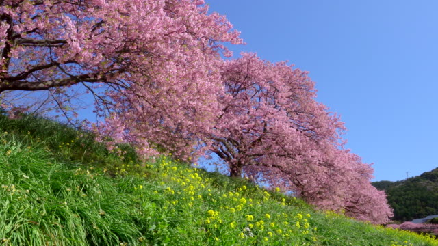 kawazu cherry blossom trees with canola flowers on river bank at shimogamo - cherry blossom stock videos & royalty-free footage